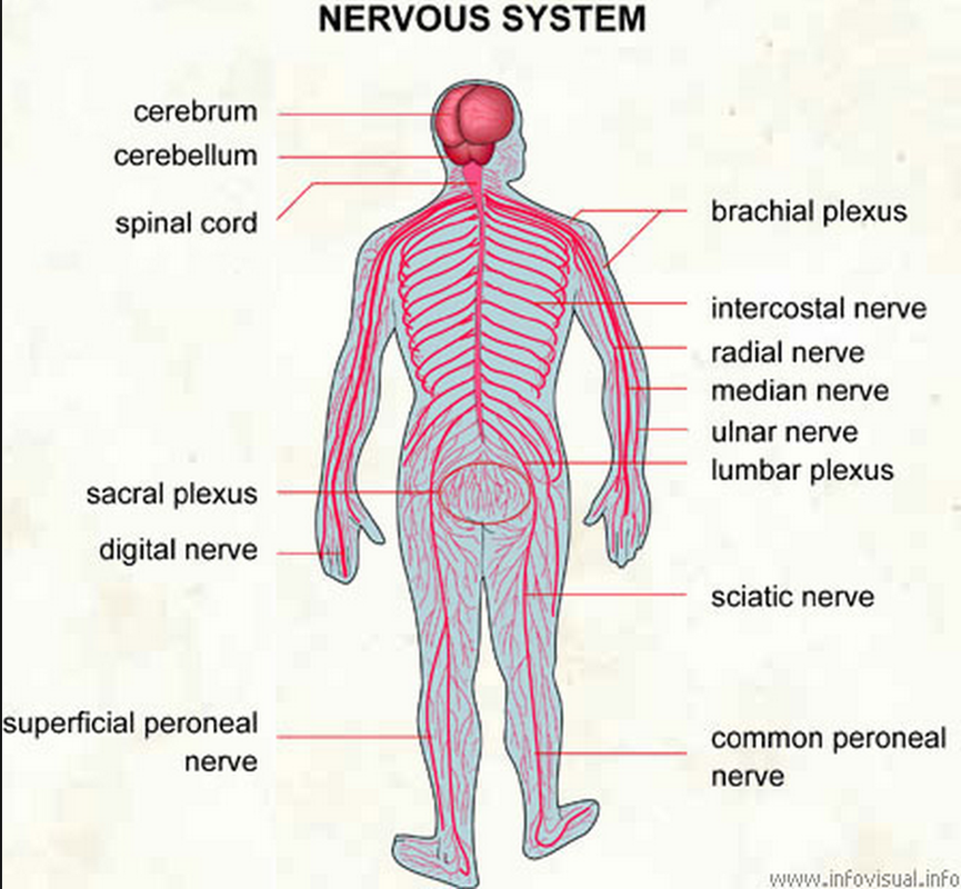 Nervous System Island Human Body System Islands